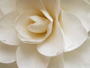 While camellia